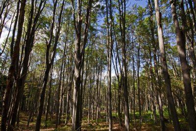 beech forest in Bükki National Park, Hungary