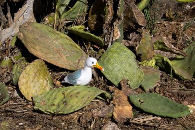 Seamus the Seagull among fallen cactus leaves
