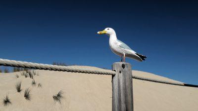 Seamus the Seagull standing on post at Duna da Cresmina, Guincho, Portugal