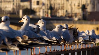 row of gulls standing on railing at riverside, Coimbra, Portugal