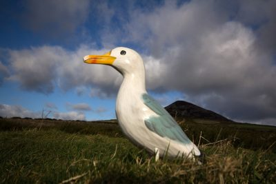 Seamus the Seagull standing in grass with mountain peak in background, Great Sugar Loaf Mountain, Wicklow, Ireland
