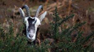 Feral goat, Glendalough