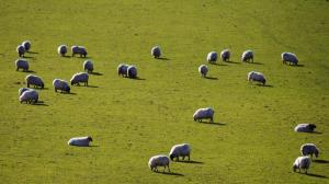 Sheep, Co. Wicklow