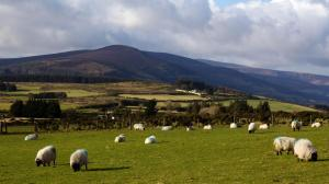 Sheep in Wicklow Hills